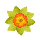 Prasowy pomarańcze róży kwiat i zieleń liść Obrazy Royalty Free