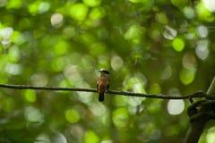 Prata-breasted fêmea Broadbill na árvore Imagem de Stock