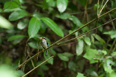 Prata-breasted fêmea Broadbill na árvore Imagens de Stock Royalty Free