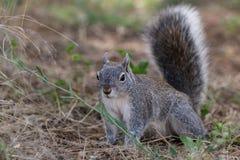Prata - esquilo cinzento Imagem de Stock Royalty Free