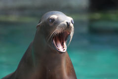 Prata havet Lion With öppnar hans mun Royaltyfri Fotografi