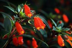 Pratad Doi kwiat (Agapetes parishii C B Clarke) w tropikalnym lesie deszczowym Fotografia Stock