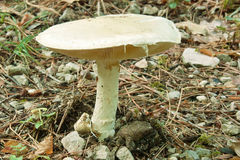 Prataiolo fungus, agaricus campestris Stock Photo