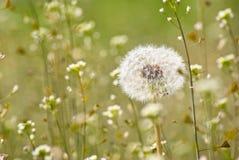 Pratal dandelion. Dandelion in shallow grass field background Stock Photo