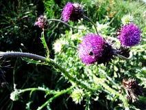 Pratense del Trifolium Fotos de archivo