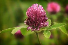 Pratense del Trifolium del trébol Fotos de archivo libres de regalías