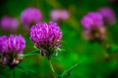 Pratense do Trifolium Fotografia de Stock