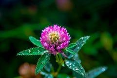Pratense do Trifolium Imagens de Stock Royalty Free