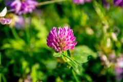 Pratense do Trifolium Imagem de Stock Royalty Free