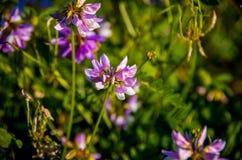 Pratense do Trifolium Foto de Stock Royalty Free