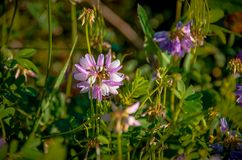 Pratense do Trifolium Fotografia de Stock Royalty Free