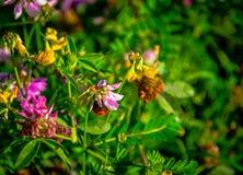 Pratense do Trifolium Foto de Stock
