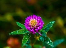 Pratense do Trifolium Imagens de Stock