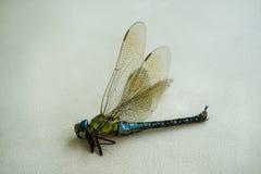 Pratense peludo de Brachytron da libélula Foto de Stock