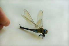 Pratense peludo de Brachytron da libélula Imagem de Stock