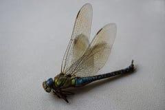 Pratense peludo de Brachytron da libélula Fotos de Stock