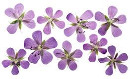 Pratense pressionado e secado do gerânio das flores, isolado no branco Imagens de Stock
