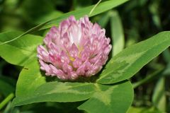 Pratense rosado macro del Trifolium del prado del trébol de la flor que crece en th fotos de archivo libres de regalías