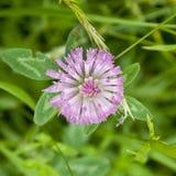 Pratense Trifolium Стоковая Фотография RF