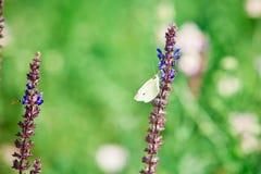 Pratensis de Salvia, fleurs bleues violettes de pré - blanc de chou photo libre de droits