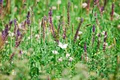 Pratensis de Salvia, fleurs bleues violettes de pré image libre de droits