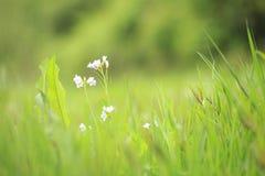 Pratensis del Cardamine de Cuckooflower que florece en un prado Imagen de archivo