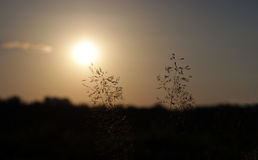 Pratensis Poa χλόης τουφών σε ένα ηλιοβασίλεμα Στοκ φωτογραφία με δικαίωμα ελεύθερης χρήσης