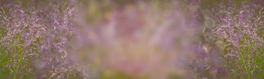 Pratensis roxo bonito do Poa da grama de prado - verão abstrato Fotografia de Stock Royalty Free