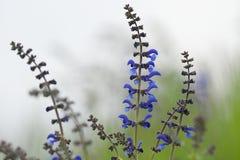 Pratensis Salvia Стоковая Фотография RF