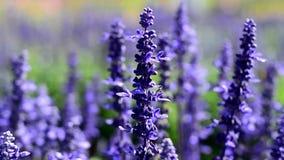 Pratensis van Salvia stock video