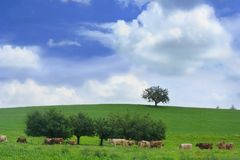 Prateria con la mandria di mucche svizzera Fotografie Stock Libere da Diritti