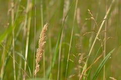 Prateria di fioritura del primo piano della stoppia dell'erba, poaceae Fotografie Stock
