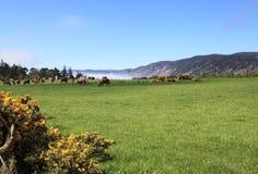 Prati con le mucche dell'altopiano vicino a Loch Ness Fotografia Stock