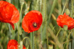 Prati del fiore selvaggio Fotografie Stock Libere da Diritti