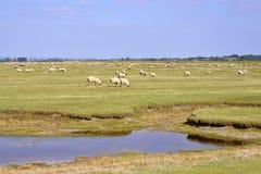Prati del sale delle pecore Immagini Stock Libere da Diritti