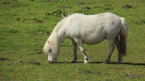 Prati di Nag Horse Graze On Open Fotografia Stock