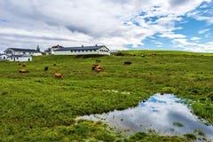 Prati e gracchi alla zona umida di Myvatn in Islanda del Nord immagine stock
