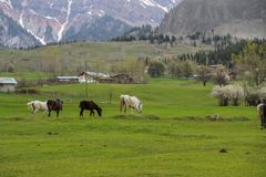 Prati verdi, cavalli, mucche, pecore Immagine Stock