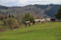 Prati verdi, cavalli, mucche, pecore Fotografia Stock Libera da Diritti
