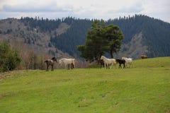 Prati verdi, cavalli, mucche, pecore Fotografie Stock