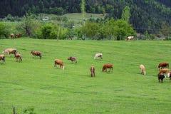Prati verdi, cavalli, mucche, pecore Immagini Stock