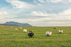 Prati verdi spaziosi con il pascolo delle pecore lanuginose adorabili Immagine Stock Libera da Diritti