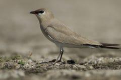 Pratincole bird Royalty Free Stock Image