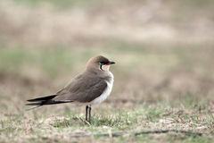 Pratincole colleté, pratincola de Glareola photographie stock