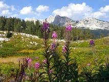 Prato alpino Immagine Stock Libera da Diritti