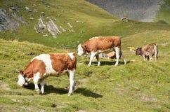 Prato alpino Immagini Stock