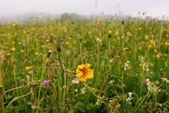 Prato alpino meraviglioso con le erbe ed i fiori selvaggi dopo pioggia Fotografia Stock Libera da Diritti