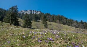 Prato blotched con il croco di tommy a primavera Immagine Stock