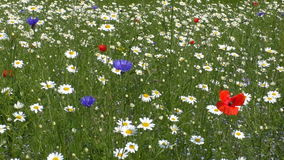 Prato Colourful del fiore selvaggio archivi video