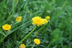Prato con erba verde ed il primo piano giallo dei denti di leone immagine stock libera da diritti
